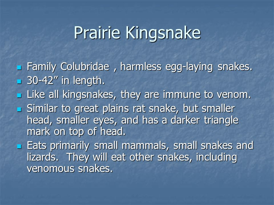 "Family Colubridae, harmless egg-laying snakes. Family Colubridae, harmless egg-laying snakes. 30-42"" in length. 30-42"" in length. Like all kingsnakes,"