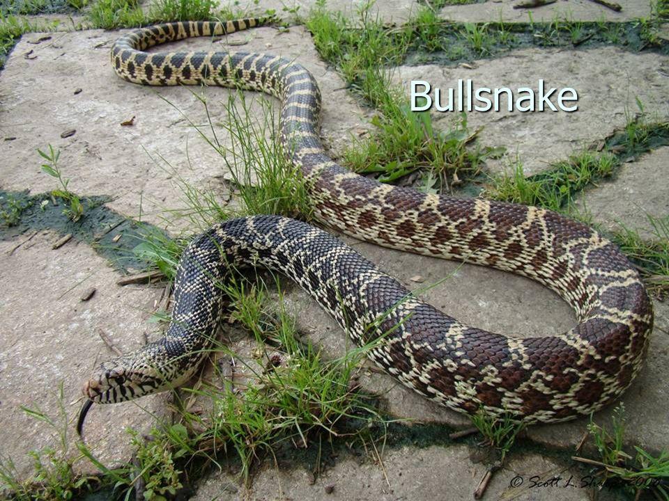Bullsnake