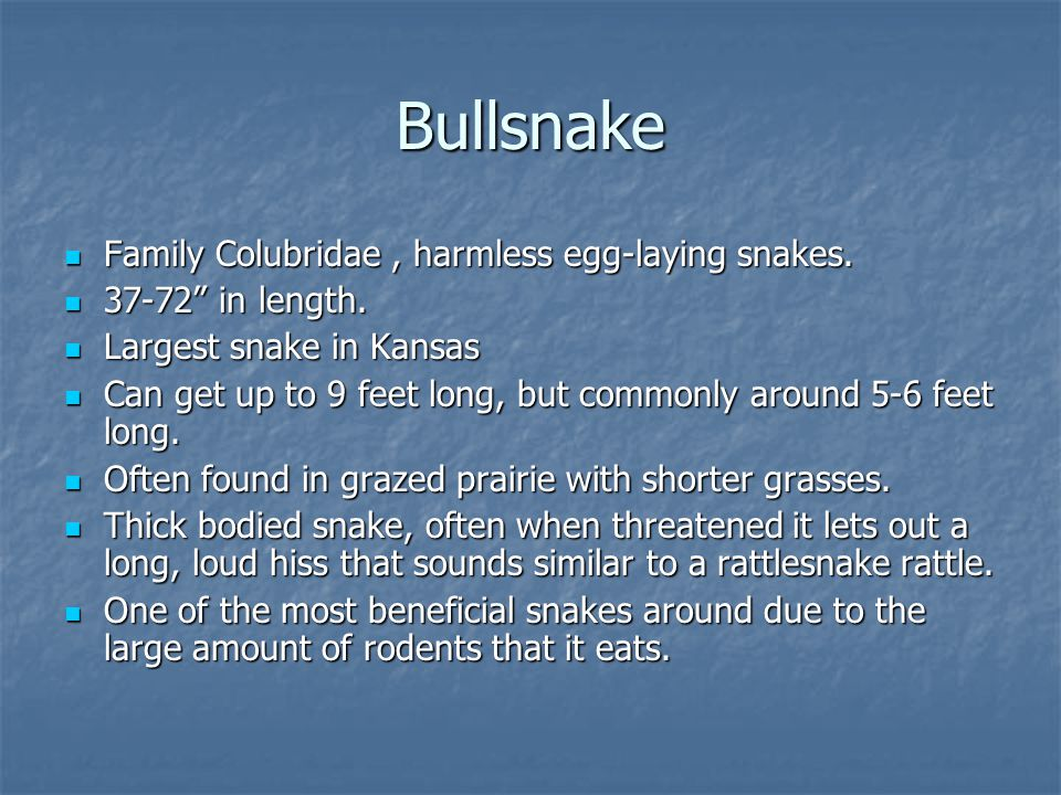 "Bullsnake Family Colubridae, harmless egg-laying snakes. Family Colubridae, harmless egg-laying snakes. 37-72"" in length. 37-72"" in length. Largest sn"