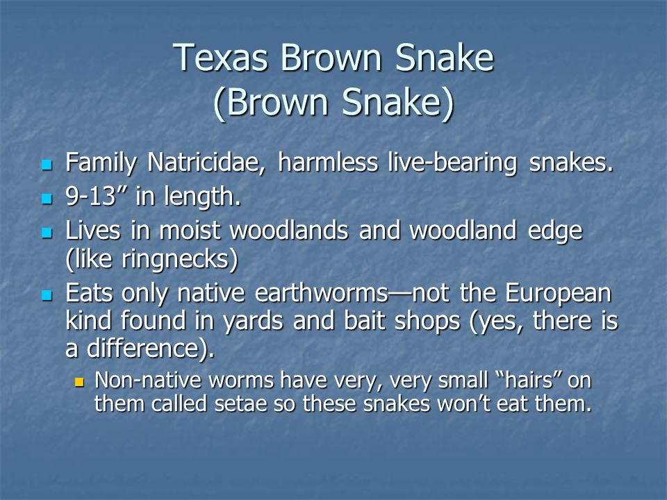 Texas Brown Snake (Brown Snake) Family Natricidae, harmless live-bearing snakes.