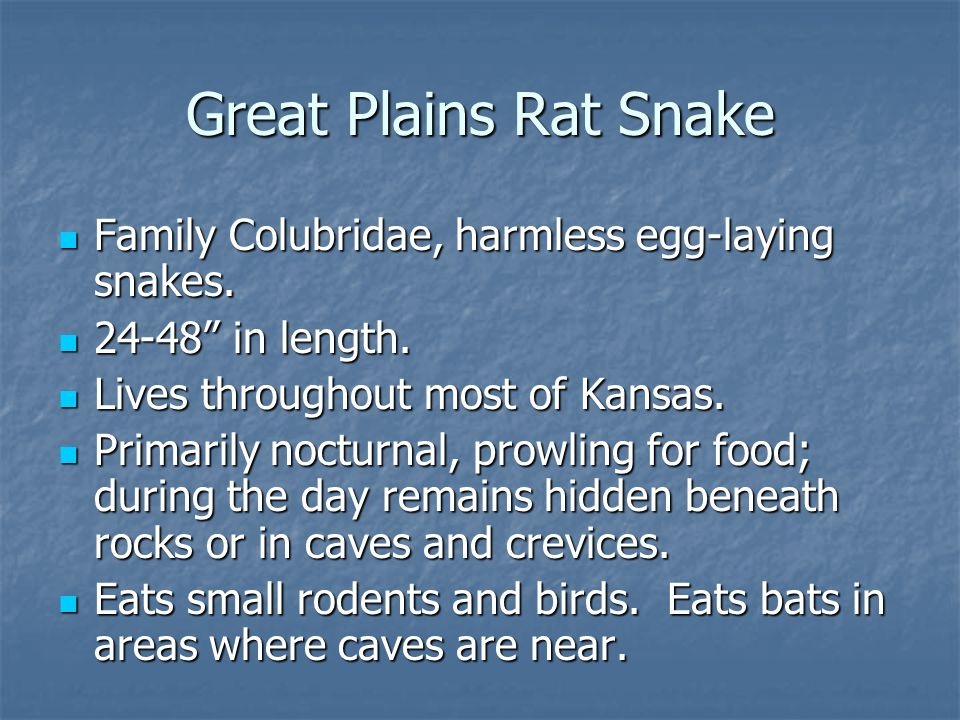 "Family Colubridae, harmless egg-laying snakes. Family Colubridae, harmless egg-laying snakes. 24-48"" in length. 24-48"" in length. Lives throughout mos"