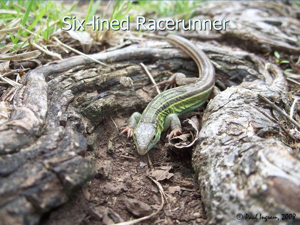 Six-lined Racerunner