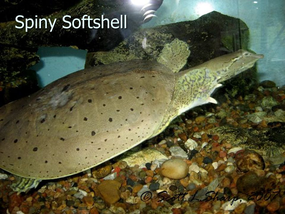 Spiny Softshell