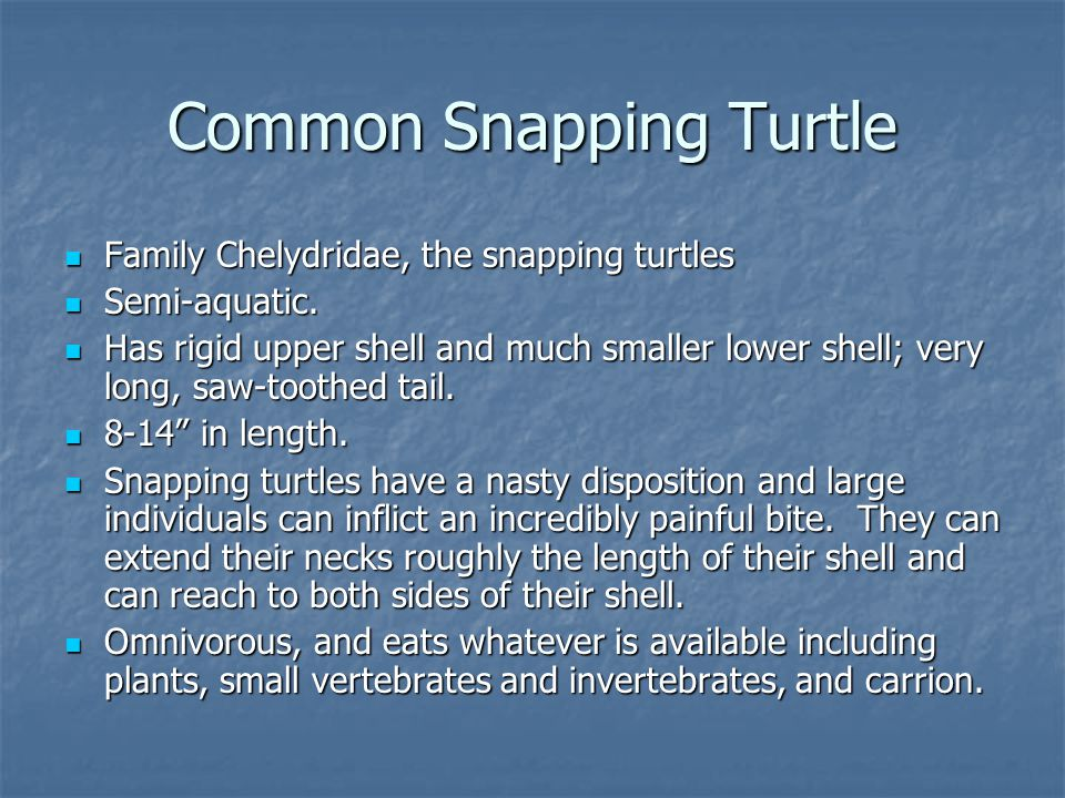 Common Snapping Turtle Family Chelydridae, the snapping turtles Family Chelydridae, the snapping turtles Semi-aquatic. Semi-aquatic. Has rigid upper s