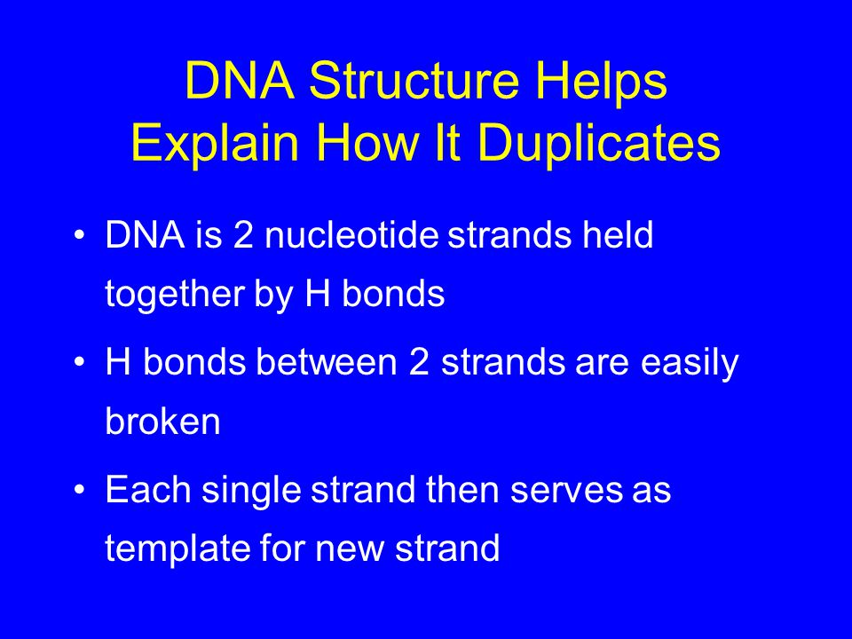 DNA Structure Helps Explain How It Duplicates DNA is 2 nucleotide strands held together by H bonds H bonds between 2 strands are easily broken Each single strand then serves as template for new strand