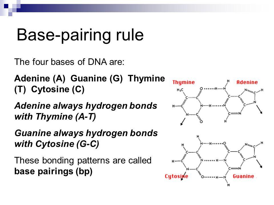 The four bases of DNA are: Adenine (A) Guanine (G) Thymine (T) Cytosine (C) Adenine always hydrogen bonds with Thymine (A-T) Guanine always hydrogen b