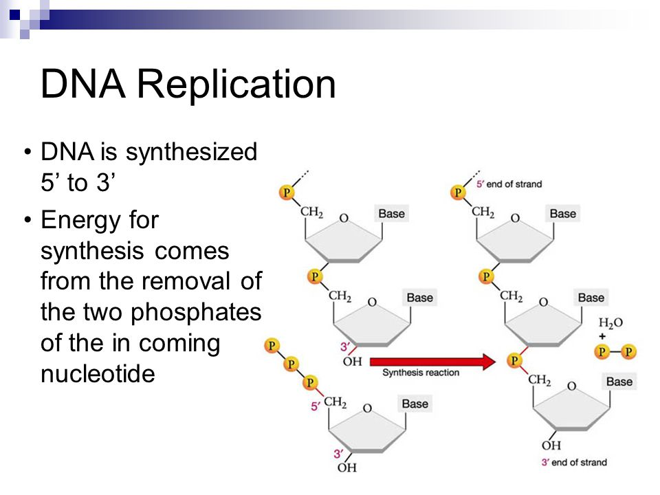 DNA is synthesized 5' to 3' Energy for synthesis comes from the removal of the two phosphates of the in coming nucleotide DNA Replication