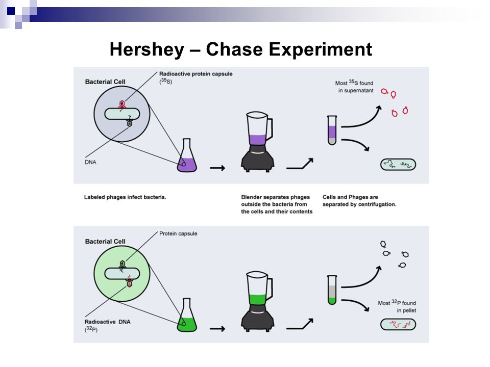 Hershey – Chase Experiment