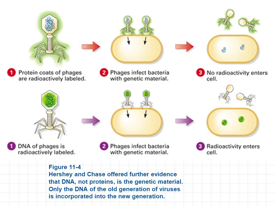 Figure 11-4 Hershey and Chase offered further evidence that DNA, not proteins, is the genetic material.