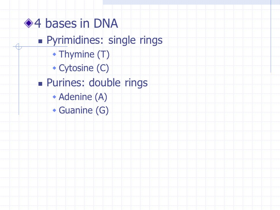 4 bases in DNA Pyrimidines: single rings  Thymine (T)  Cytosine (C) Purines: double rings  Adenine (A)  Guanine (G)