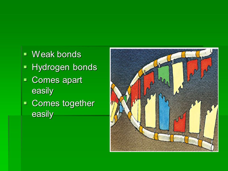  Weak bonds  Hydrogen bonds  Comes apart easily  Comes together easily
