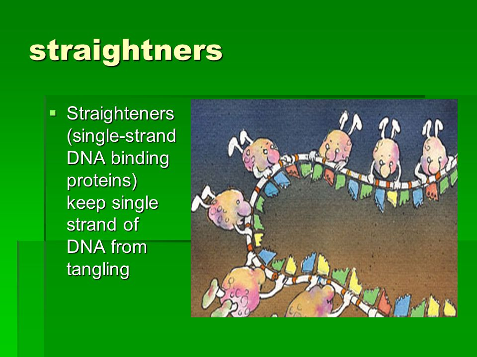straightners  Straighteners (single-strand DNA binding proteins) keep single strand of DNA from tangling