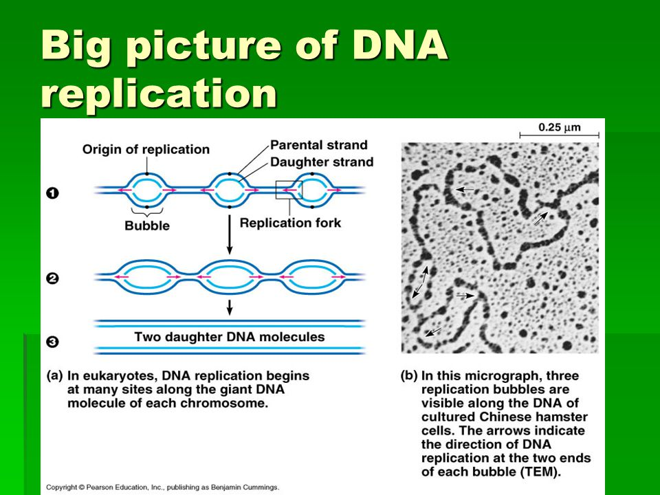 Big picture of DNA replication