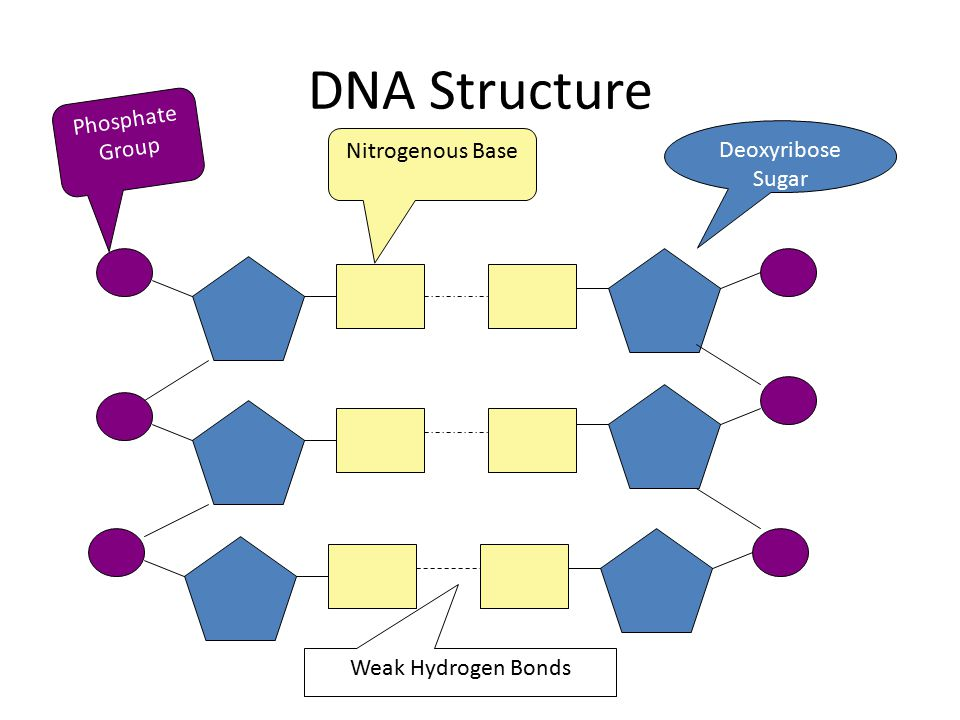 DNA Structure Phosphate Group Deoxyribose Sugar Nitrogenous Base Weak Hydrogen Bonds