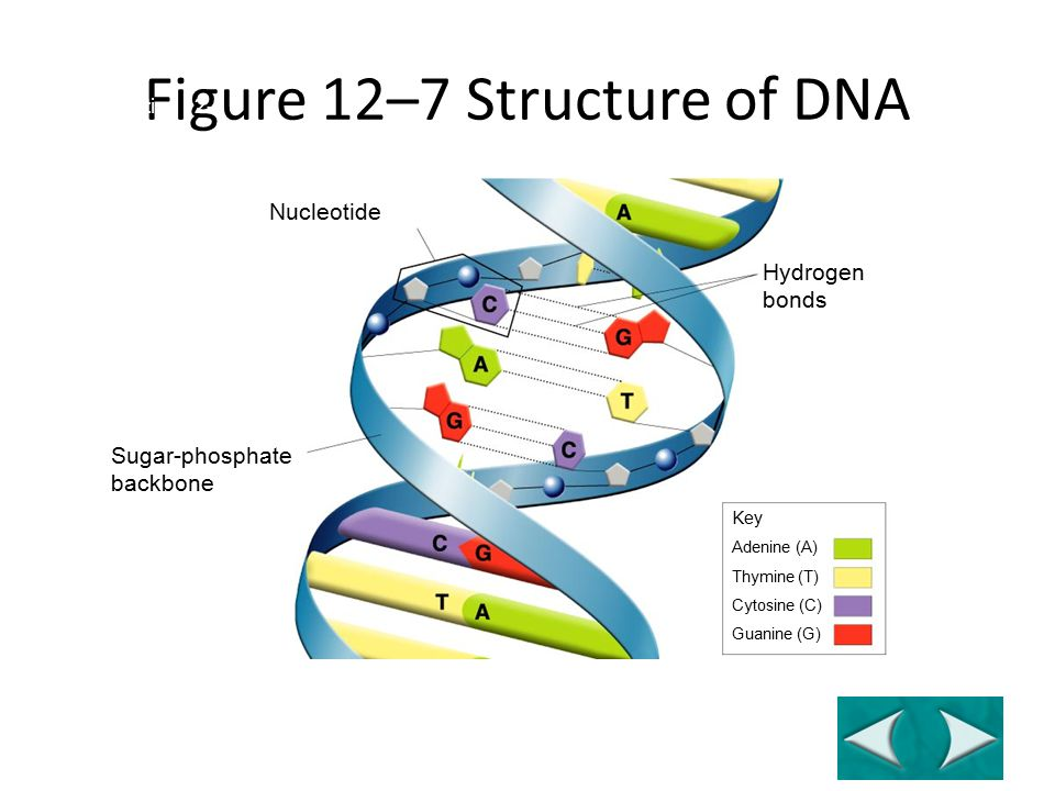 Hydrogen bonds Nucleotide Sugar-phosphate backbone Key Adenine (A) Thymine (T) Cytosine (C) Guanine (G) Figure 12–7 Structure of DNA Section 12-1 Go to Section: