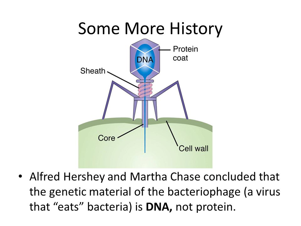 Some More History Alfred Hershey and Martha Chase concluded that the genetic material of the bacteriophage (a virus that eats bacteria) is DNA, not protein.