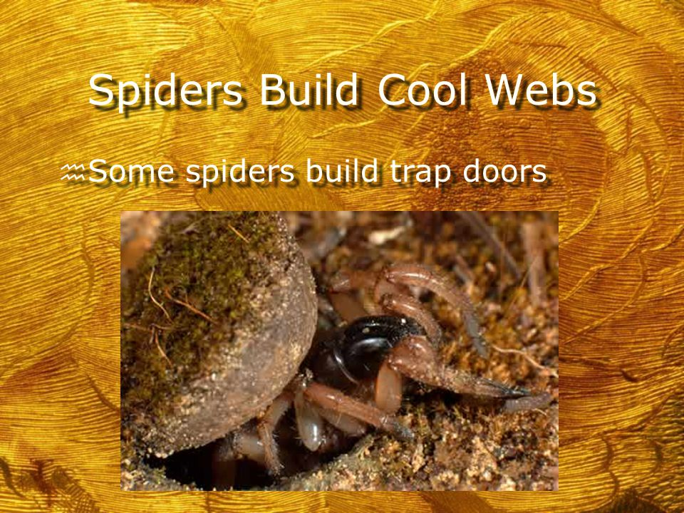 Spiders Build Cool Webs h Some spiders build trap doors