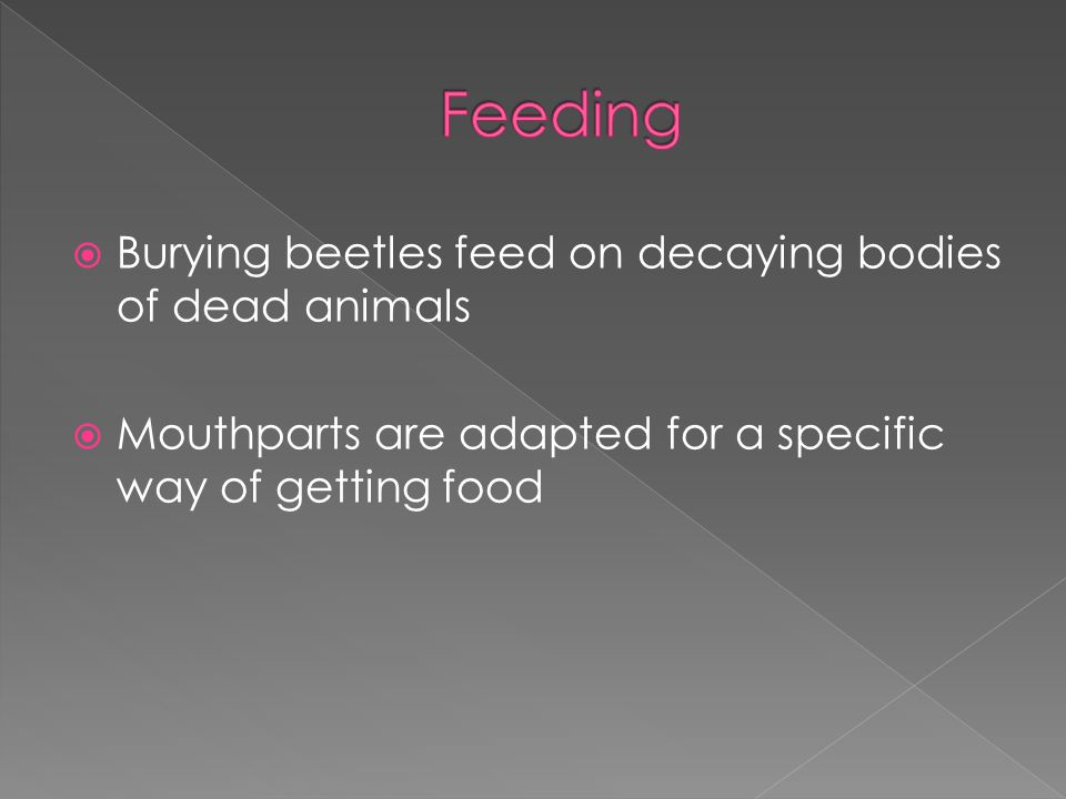  Burying beetles feed on decaying bodies of dead animals  Mouthparts are adapted for a specific way of getting food