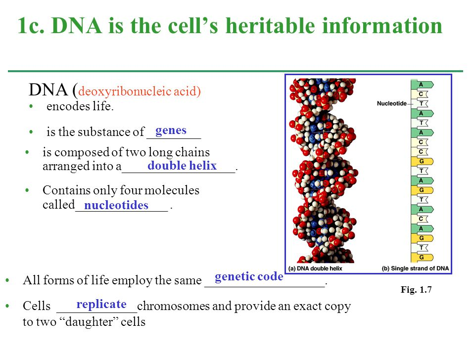 encodes life. is the substance of ________ 1c. DNA is the cell's heritable information Fig. 1.7 is composed of two long chains arranged into a________