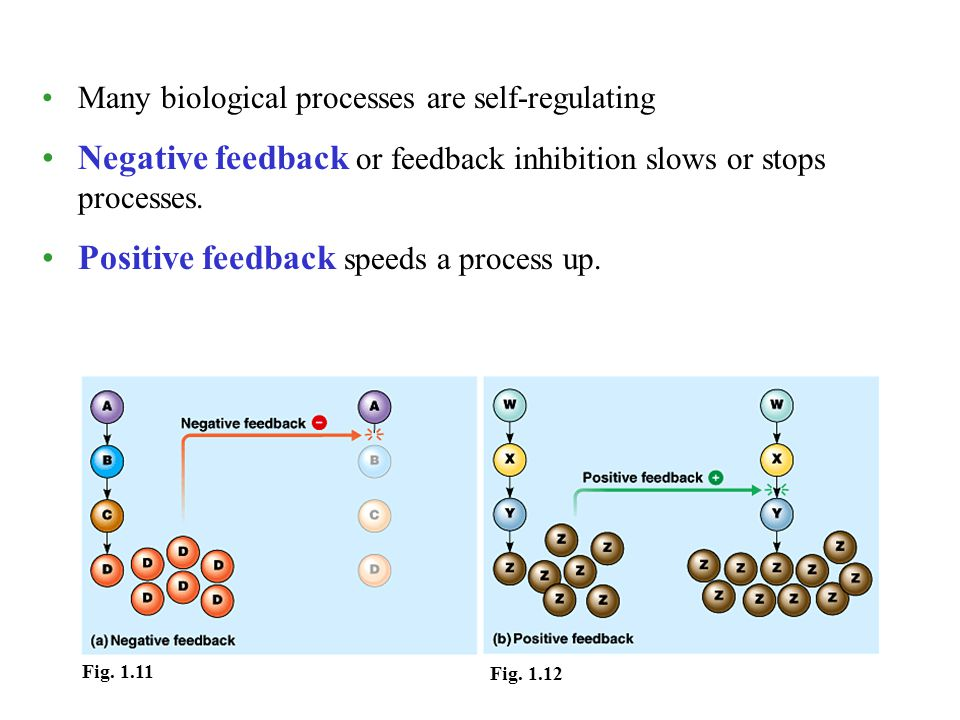 Many biological processes are self-regulating Negative feedback or feedback inhibition slows or stops processes. Positive feedback speeds a process up