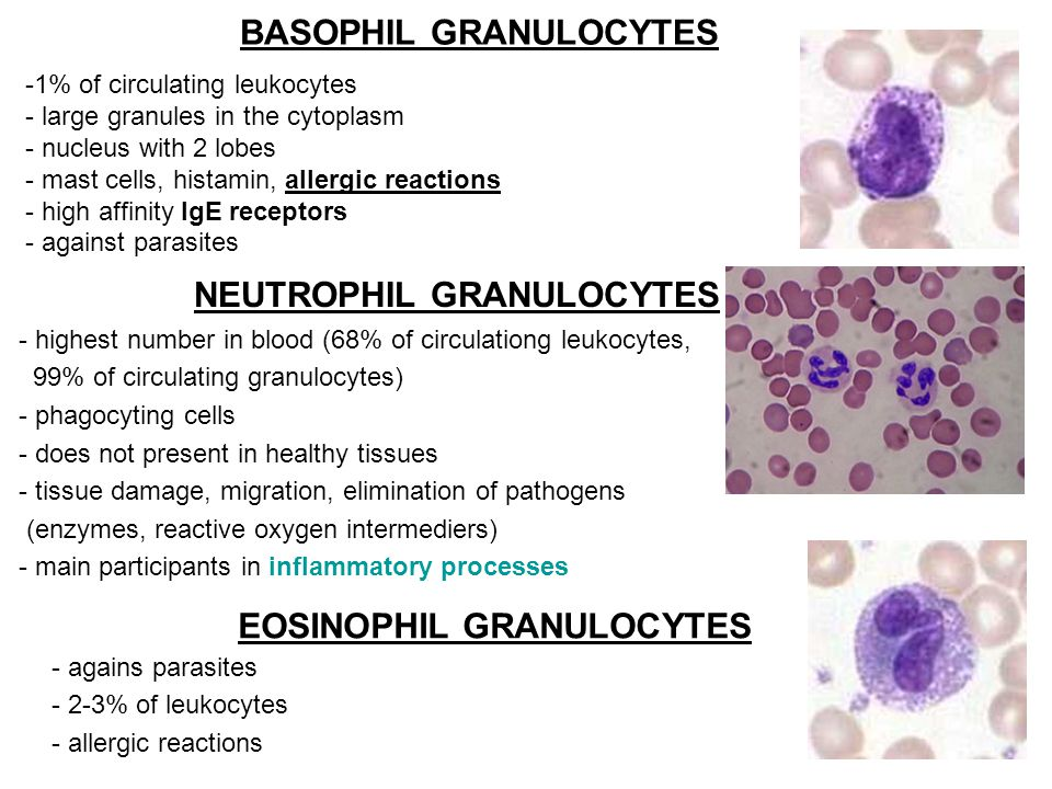 BASOPHIL GRANULOCYTES NEUTROPHIL GRANULOCYTES EOSINOPHIL GRANULOCYTES -1% of circulating leukocytes - large granules in the cytoplasm - nucleus with 2 lobes - mast cells, histamin, allergic reactions - high affinity IgE receptors - against parasites - highest number in blood (68% of circulationg leukocytes, 99% of circulating granulocytes) - phagocyting cells - does not present in healthy tissues - tissue damage, migration, elimination of pathogens (enzymes, reactive oxygen intermediers) - main participants in inflammatory processes - agains parasites - 2-3% of leukocytes - allergic reactions