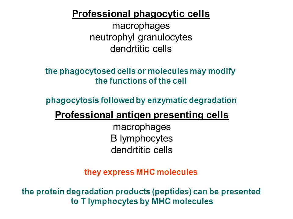 Professional phagocytic cells macrophages neutrophyl granulocytes dendrtitic cells the phagocytosed cells or molecules may modify the functions of the cell phagocytosis followed by enzymatic degradation Professional antigen presenting cells macrophages B lymphocytes dendrtitic cells they express MHC molecules the protein degradation products (peptides) can be presented to T lymphocytes by MHC molecules
