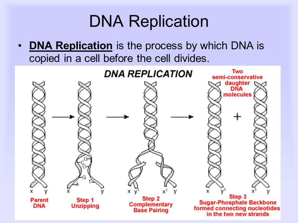 DNA Replication DNA Replication is the process by which DNA is copied in a cell before the cell divides.