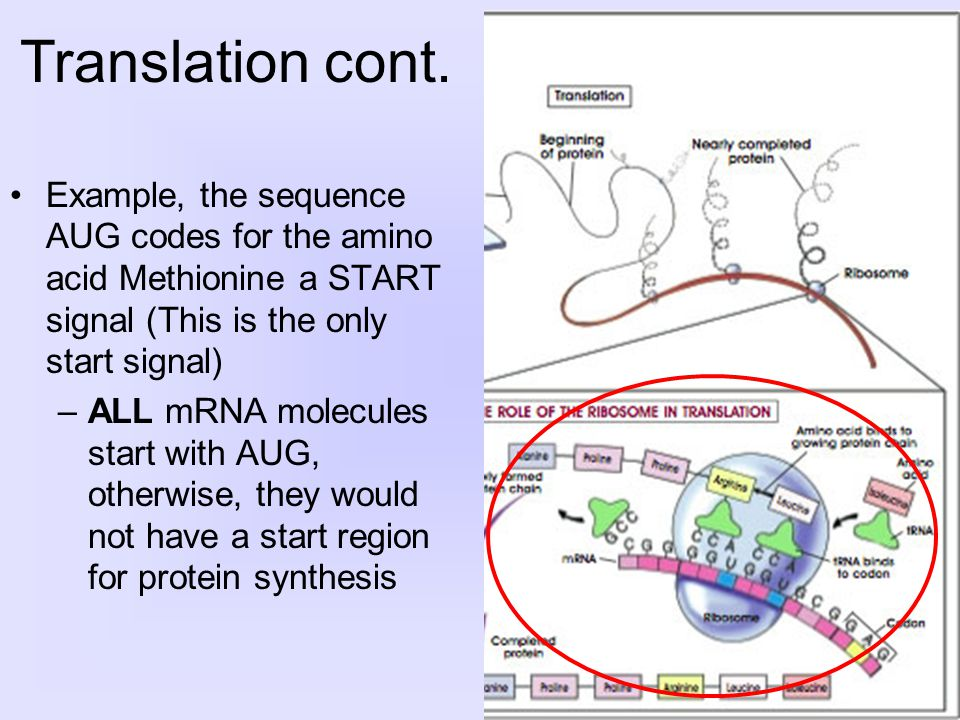 Example, the sequence AUG codes for the amino acid Methionine a START signal (This is the only start signal) –ALL mRNA molecules start with AUG, otherwise, they would not have a start region for protein synthesis Translation cont.