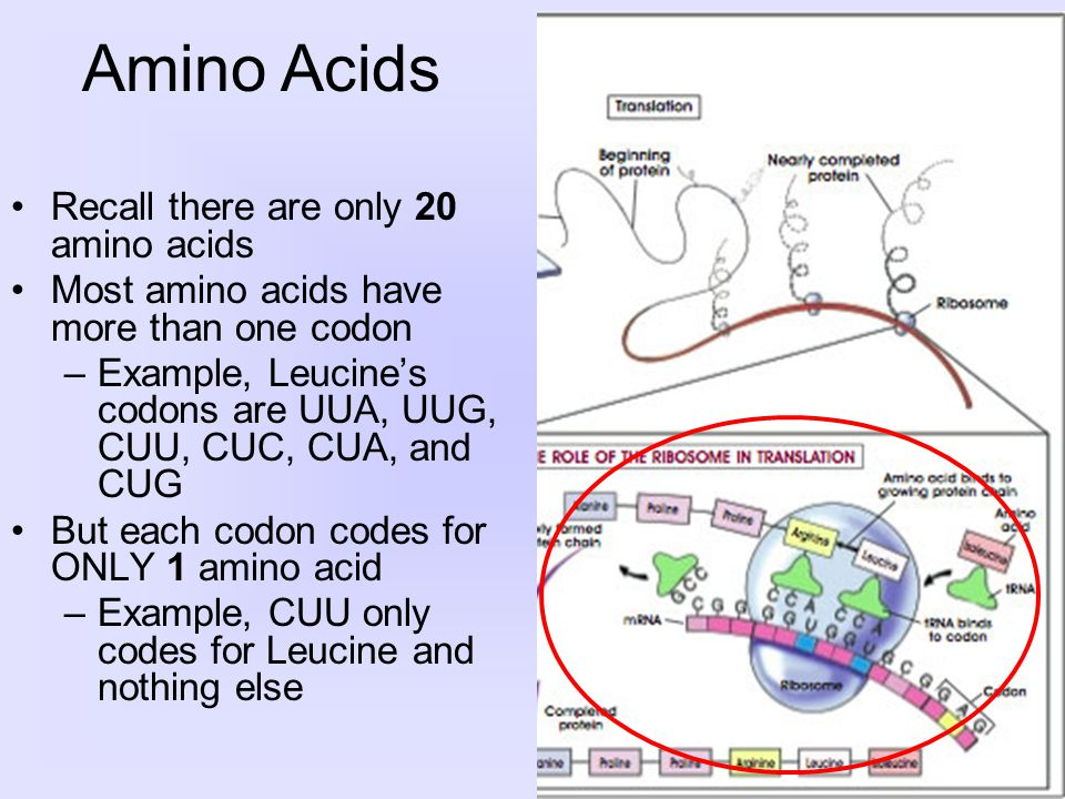 Recall there are only 20 amino acids Most amino acids have more than one codon –Example, Leucine's codons are UUA, UUG, CUU, CUC, CUA, and CUG But each codon codes for ONLY 1 amino acid –Example, CUU only codes for Leucine and nothing else Amino Acids