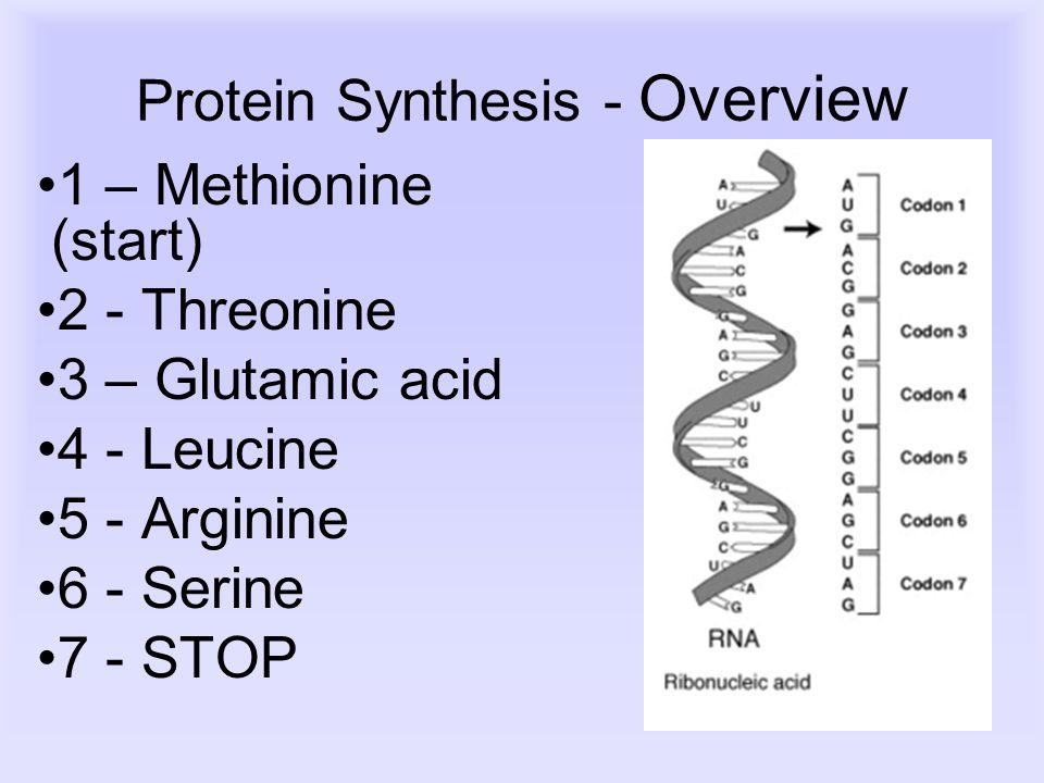 Protein Synthesis - Overview 1 – Methionine (start) 2 - Threonine 3 – Glutamic acid 4 - Leucine 5 - Arginine 6 - Serine 7 - STOP