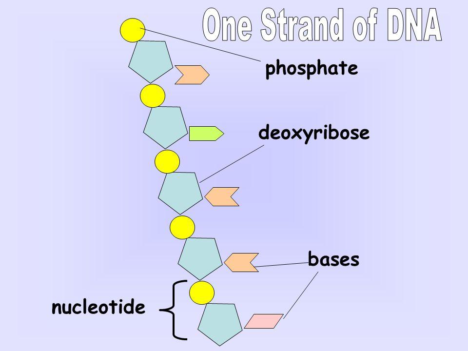 phosphate deoxyribose bases nucleotide