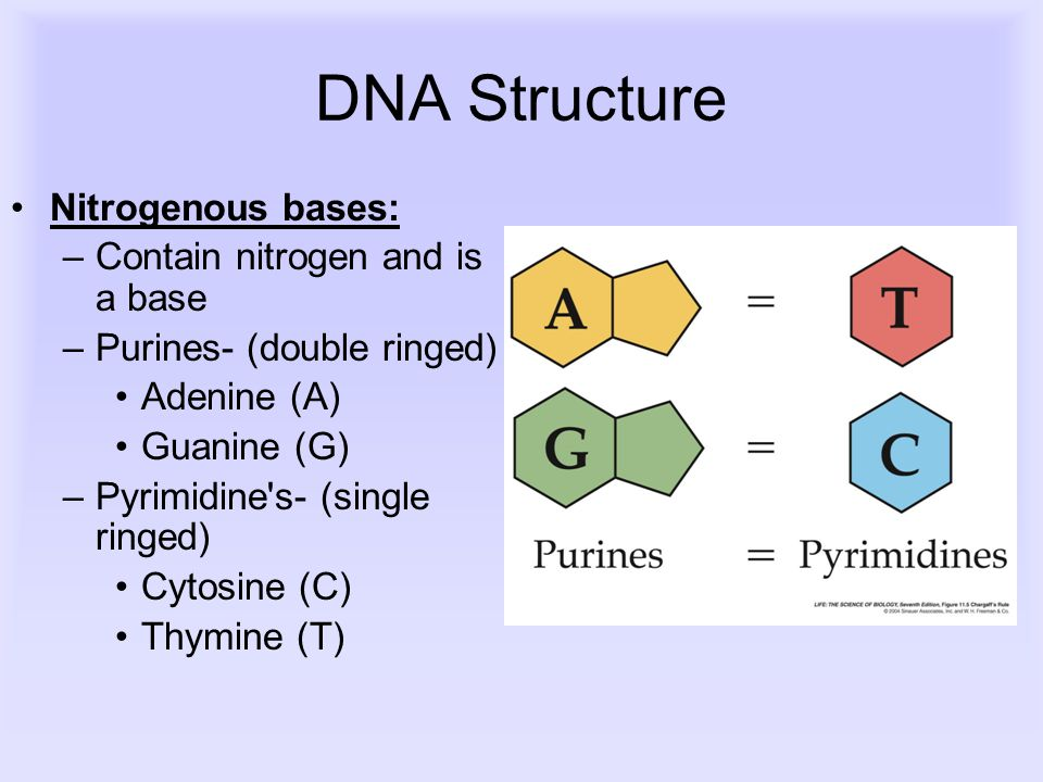 DNA Structure Nitrogenous bases: –Contain nitrogen and is a base –Purines- (double ringed) Adenine (A) Guanine (G) –Pyrimidine s- (single ringed) Cytosine (C) Thymine (T)