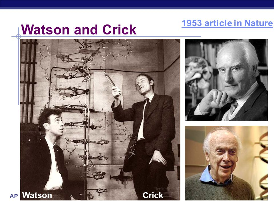 AP Biology Structure of DNA  Watson & Crick  developed double helix model of DNA  other scientists working on question:  Rosalind Franklin (contributed X-Ray Crystallography photo of DNA)  Maurice Wilkins (Franklin's partner)  Linus Pauling (Got it all wrong!) 1953 | 1962 Franklin WilkinsPauling