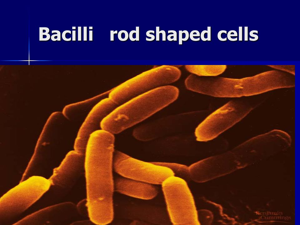 Bacilli rod shaped cells