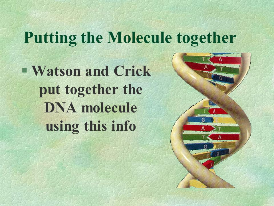 Determining the Structure of DNA § Rosalind Franklin's X-ray Crystallography of DNA showed the Double Helical structure of the molecule