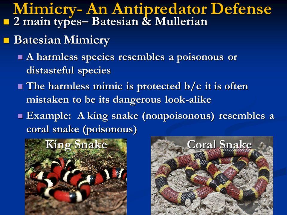 Mimicry- An Antipredator Defense 2 main types– Batesian & Mullerian 2 main types– Batesian & Mullerian Batesian Mimicry Batesian Mimicry A harmless sp