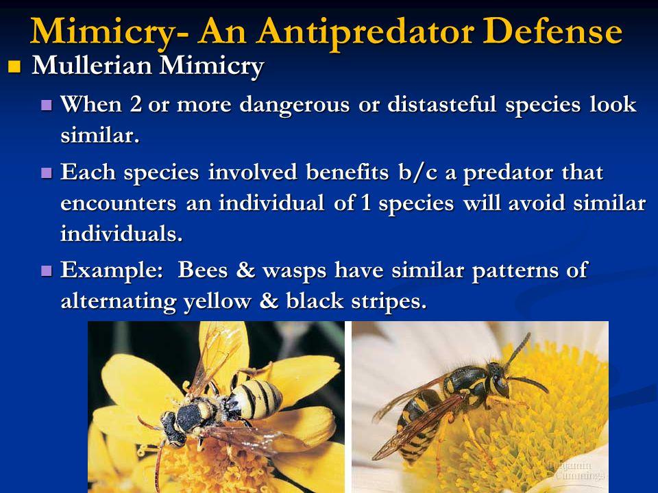 Mimicry- An Antipredator Defense Mullerian Mimicry Mullerian Mimicry When 2 or more dangerous or distasteful species look similar. When 2 or more dang