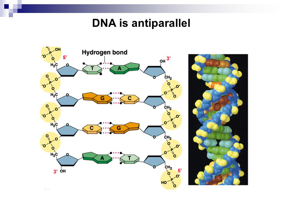 DNA is antiparallel
