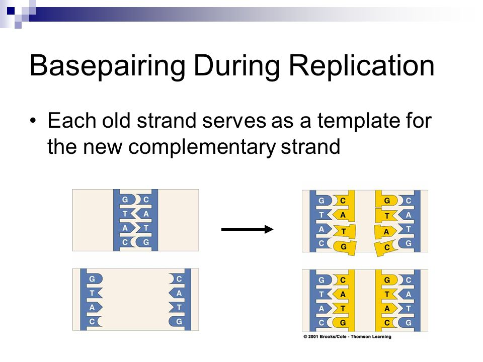 Basepairing During Replication Each old strand serves as a template for the new complementary strand
