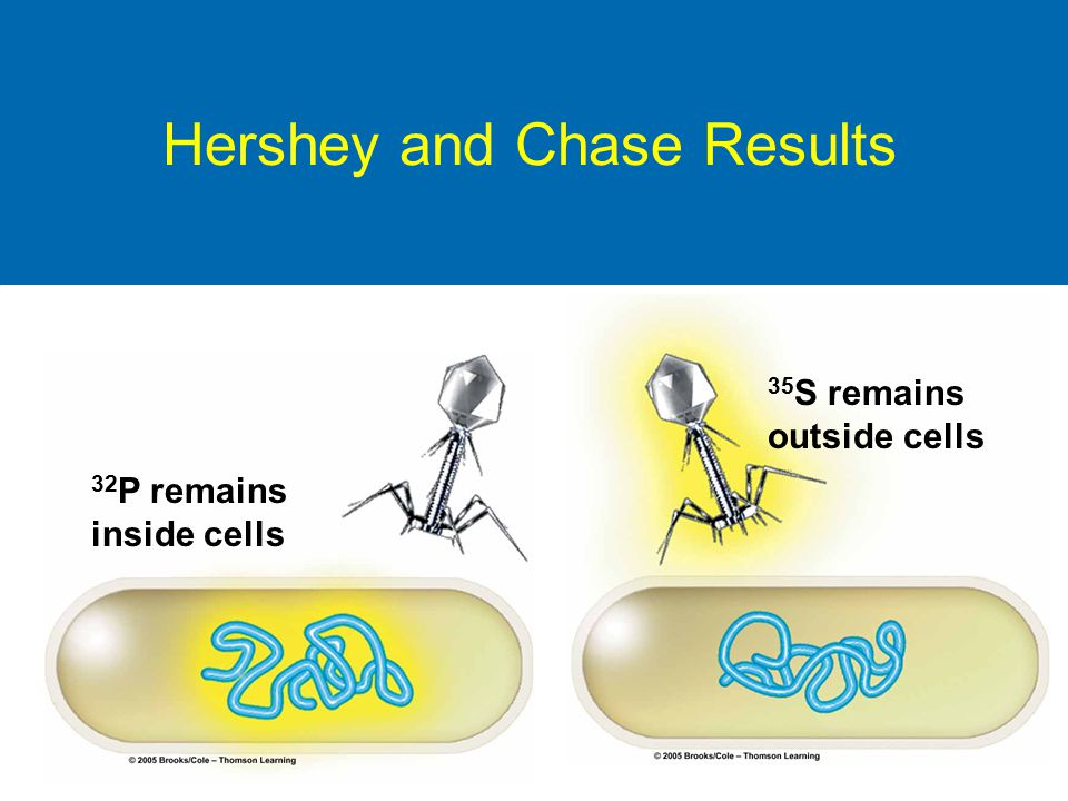 Hershey and Chase Results 35 S remains outside cells 32 P remains inside cells