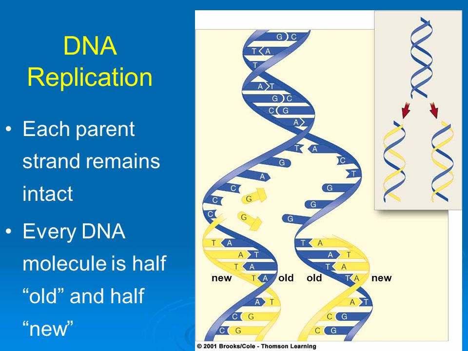"DNA Replication new old Each parent strand remains intact Every DNA molecule is half ""old"" and half ""new"""