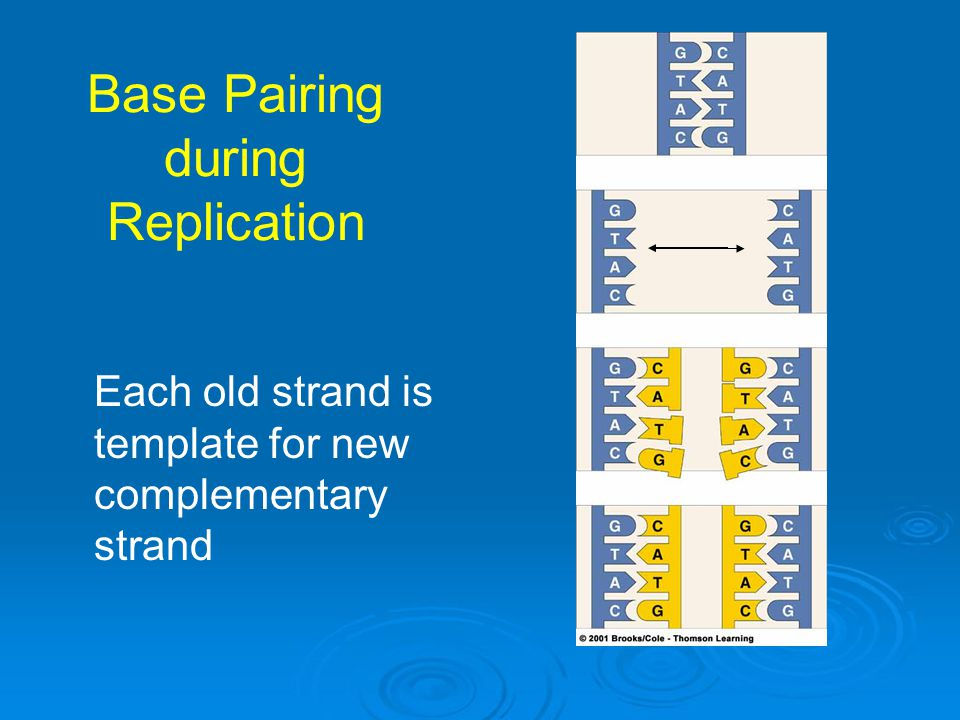 Base Pairing during Replication Each old strand is template for new complementary strand