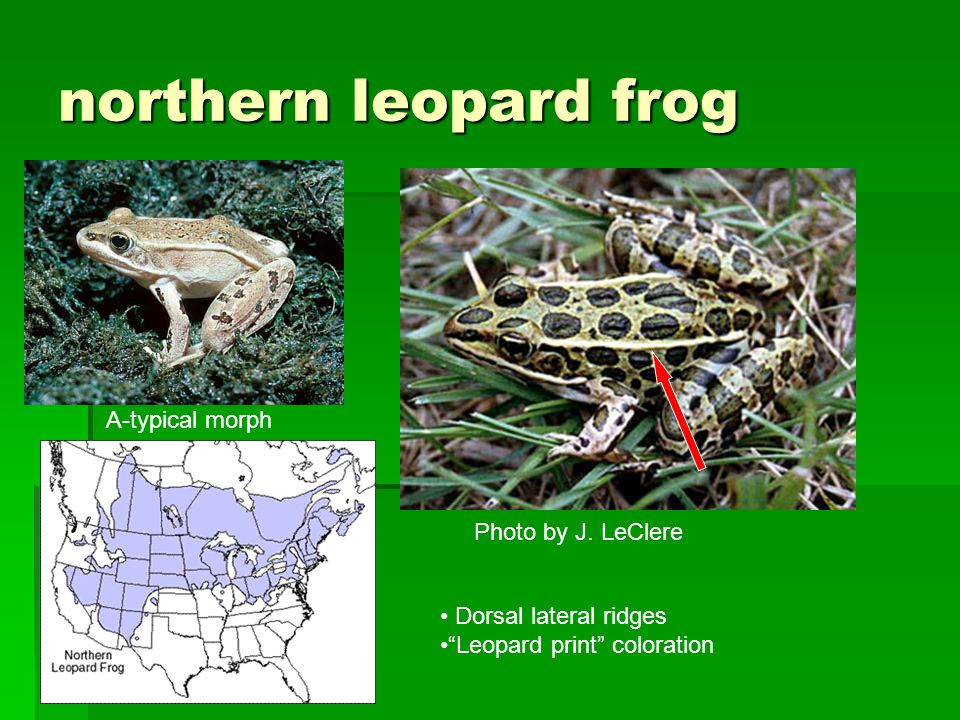 northern leopard frog Photo by J.
