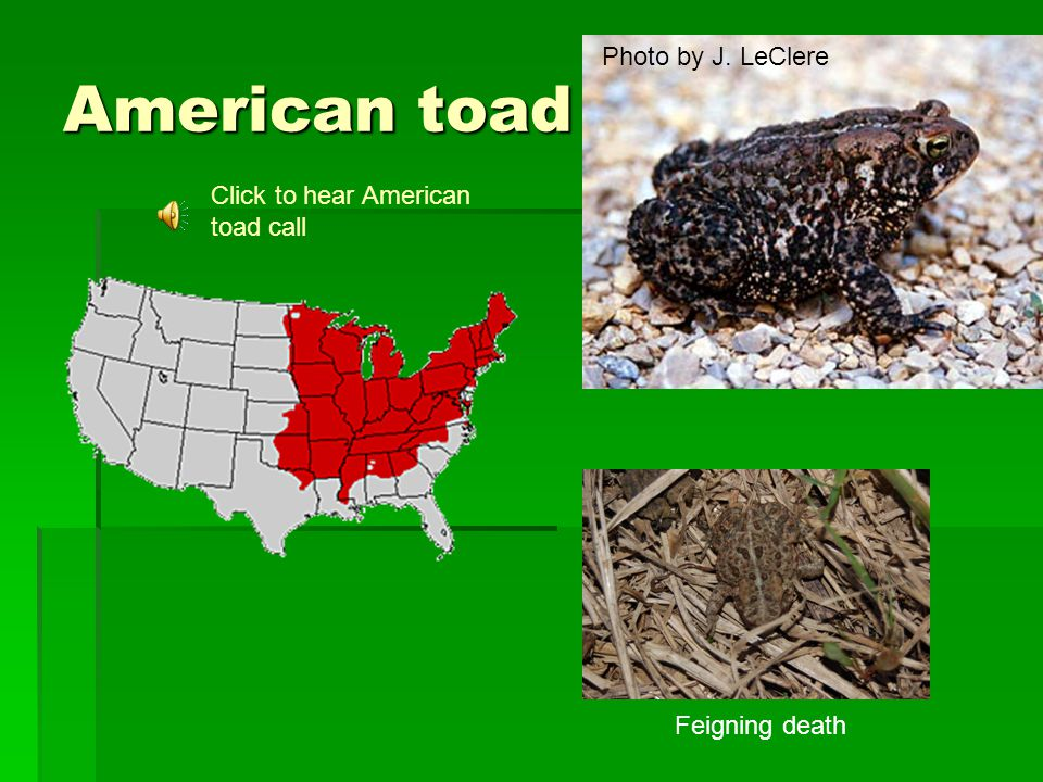 American toad Photo by J. LeClere Feigning death Click to hear American toad call