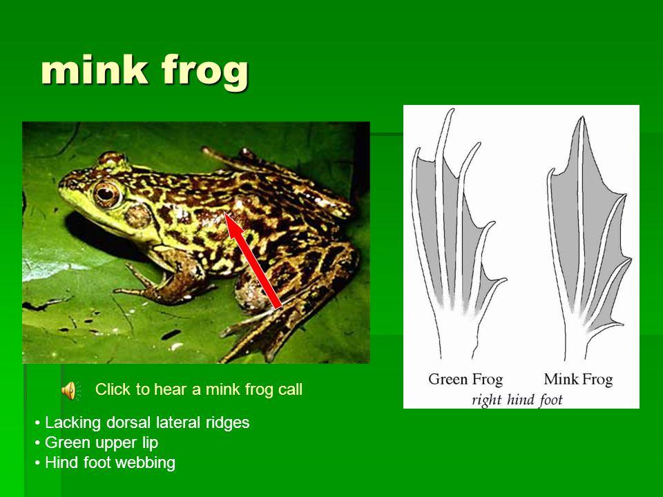 mink frog Click to hear a mink frog call Lacking dorsal lateral ridges Green upper lip Hind foot webbing