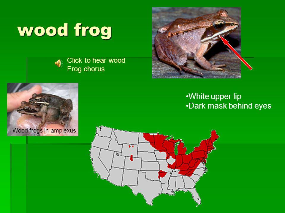wood frog Click to hear wood Frog chorus Wood frogs in amplexus White upper lip Dark mask behind eyes