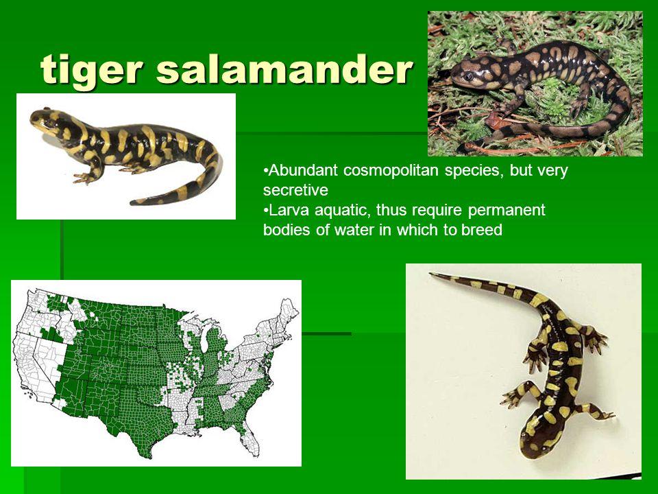 tiger salamander Abundant cosmopolitan species, but very secretive Larva aquatic, thus require permanent bodies of water in which to breed