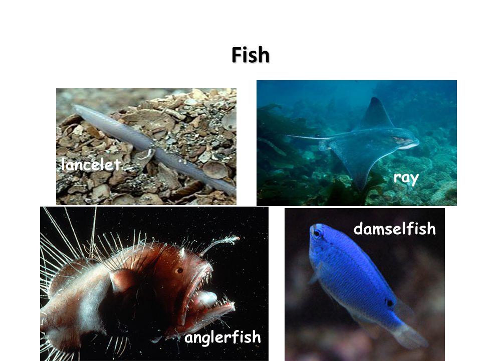Fish lancelet ray anglerfish damselfish