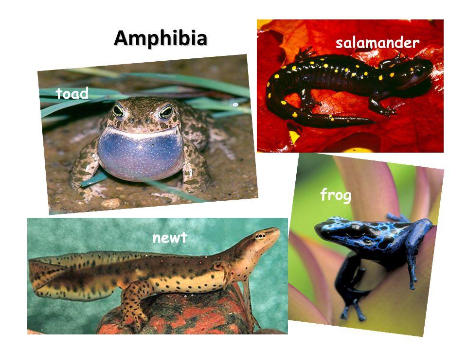 Amphibia toad newt frog salamander