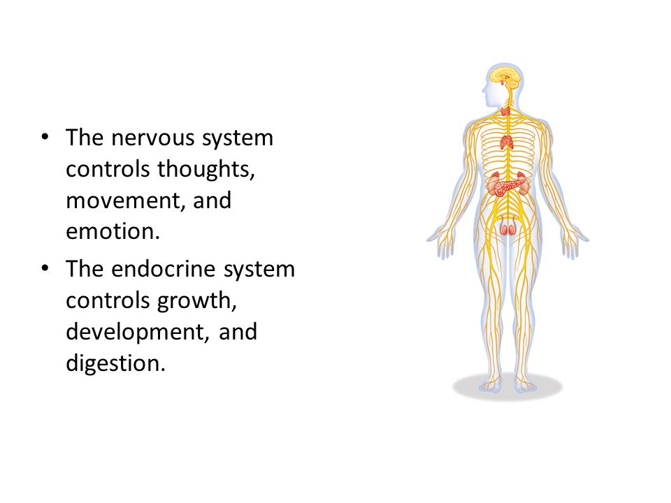 The nervous system controls thoughts, movement, and emotion. The endocrine system controls growth, development, and digestion.